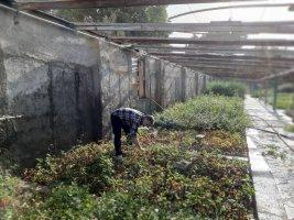 تولید 10هزار گلدان گل فصلی (کلم زینتی) در شهرداری ملارد